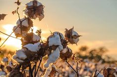 Excited to share the latest addition to my shop: White Cotton Seeds, Gossypium , Flower Plant, Organic Cotton Plant 100 seeds Garden Seeds, Planting Seeds, Planting Flowers, Cotton Plant, Organic Seeds, Unique Plants, White Cotton, Hibiscus, Perennials