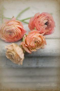 Paris Gardens and David Austin Roses from Garden Photo World: Ranunculus