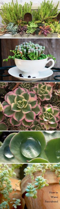 Learn exactly how to water your succulents plants so they thrive!