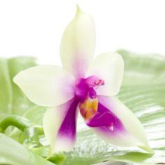 Phalaenopsis bellina var. 'Coerulea'