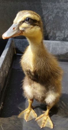 Runner duck 1 week old