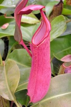 Nepenthes x [albomarginata x veitchii] Photo by Sunbelle Exotics Strange Flowers, Unusual Flowers, Rare Flowers, Amazing Flowers, Unusual Plants, Rare Plants, Exotic Plants, Cool Plants, Organic Container Gardening