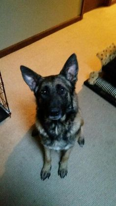 Check out Ruby's profile on AllPaws.com and help her get adopted! Ruby is an adorable Dog that needs a new home. https://www.allpaws.com/adopt-a-dog/belgian-shepherd-malinois-mix-german-shepherd-dog/4409718?social_ref=pinterest