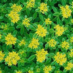 """Trough Gardens-Sedum  Creeping sedums -stonecrops -succulent leaves mats -green, red, purple, gray-green, or variegated. Flowers -yellow or pink.  Size: 2-6"""" tall; 4-12"""" wide  Zones: 4-9  Top Picks: Kamchatka sedum-mounding plant to 4"""" tall -yellow flowers -change to gold then reddish brown.  S. lydium -mat-forming evergreen groundcover w/tightly clustered, rounded, reddish leaves.  Cape Blanco sedum (S. spathulifolium 'Cape Blanco') - spoon-shaped silvery leaves & star-shaped yellow…"""
