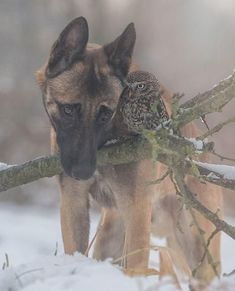 Ingo the Shepherd dog and Poldi the owl by Tanja Brandt, so awesome! Ingo the Shepherd dog and Poldi the owl by Tanja Brandt, so awesome! Animals And Pets, Baby Animals, Funny Animals, Cute Animals, Unusual Animals, Animals Beautiful, Beautiful Creatures, I Love Dogs, Cute Dogs