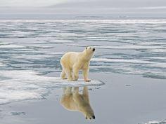 Oso polar mojado