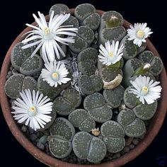 LIthops salicola How to create a sea-creature succulent garden - Boldly colored. With the wonderful world of succulents, you can mimic an underwater garden   Colorful DIY succulents Drought Friendly Drought Tolerant California Garden #SymbolicHoldings