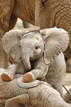 Cute elephant baby Pics with other cute animals Un bambino elefante molto carino + 9 foto con altri simpatici animali Cute Baby Elephant, Cute Baby Animals, Animals And Pets, Funny Animals, Baby Elephants, Elephants Playing, Funny Elephant, Happy Animals, Elephant Trunk