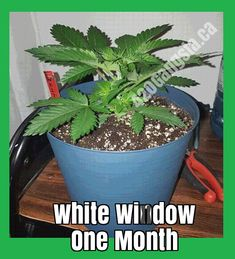 Weed Plants, Smoking Weed, How To Stay Healthy, Planter Pots, Popular, Image, Collection, Plants