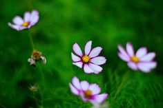 https://flic.kr/p/hS3iNX | Cosmos | Copyright © Vincent Ting Photography. All rights reserved. Please don't use without my permission Welcome visit my Getty Images
