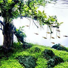 Anubias TreeScape #FAAO #Aquaflora #Aquascaping