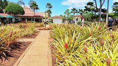 Dole Plantation: Pineapple variety garden, Oahu Hawaii