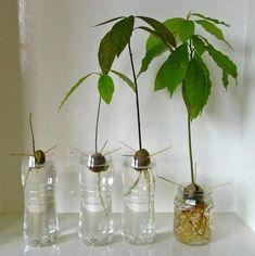 plantar semillas de paltas