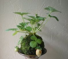 I have a little strawberry plant...just waiting for me to plant in moss!