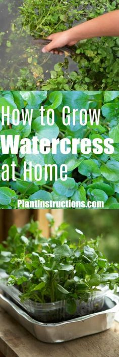 Learn how to grow fresh, delicious watercress right athome!