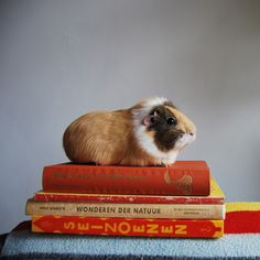 my Fav Things Combined YAYGuinea pig sitting on books.