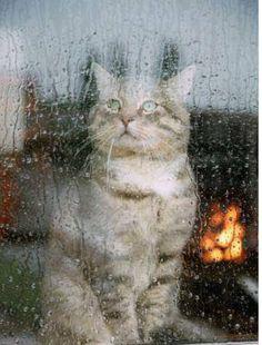 Cat kitten by a rain rainy window pane