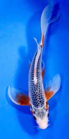White butterfly koi wanted name will be obake for Live dragon koi fish