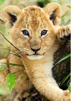 Such a cute lion cub Zoo Animals, Cute Baby Animals, Animals And Pets, Funny Animals, Animal Babies, Wild Animals, Cute Animal Photos, Animal Pictures, Animals Photos