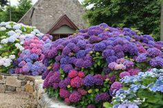 DEEPLY COLORED HYDRANGEA IN BRITTANY. The deep colors come from the mineral composition of the soil.