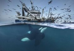 Wildlife, first place: Audun Rikardsen's shot of a killer whale which has been drawn towards a fishing boat by the promise of some lingering herring in Tromso, Norway Fishing Photography, Wildlife Photography, Animal Photography, Photography Awards, Underwater Photography, Underwater Photos, Stunning Photography, Wild Life, Orcas