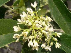 桂花, osmanthus fragrans. smells awesome,