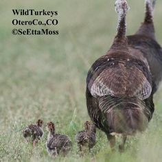 SeEtta's got love for baby turkeys over on the Birds and Blooms Blog!