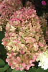 Description:  An exciting hardy Hydrangea from Holland, 'Limelight' has unique bright chartreuse blooms in mid-summer that hold bright and refreshing color right into autumn when the blooms change color to a rich deep pink.