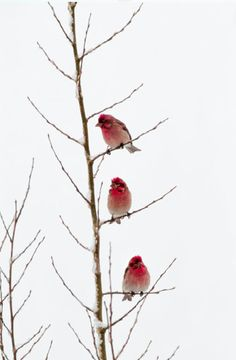 Rubies of the Tetons  Perched in a young aspen, three male Cassin's finches wait out a late spring snowstorm, their vivid red plumage shines like bright jewels against the snow-washed sky.