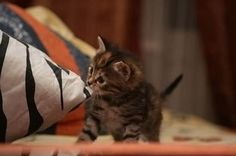 Tiger Kitten.