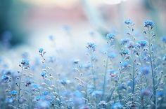 - flowers - forget me not
