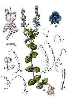 Véronique petit-chêne - Veronica chamaedrys L.