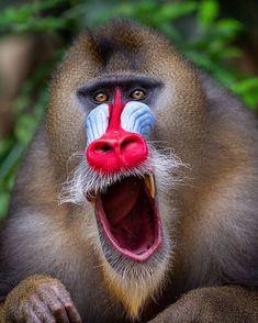 Beautiful colors on a beautiful Mandrill Primates, Mammals, Safari, Light Blue Eyes, Wildlife Biologist, Almond Shaped Eyes, Pet Day, Close Up Portraits, Baboon
