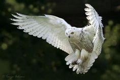 Flying Snow Owl