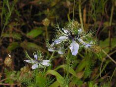 Im Algarve findet sich im Mai die Nigella, besser bekannt als Jungfer im Grünen oder Schwarzkümmel Damaszener an Feldrändern oder im Brachland … Die bis zu 40 cm hoch wachsende Pflanze aus der Familie der Hahnenfussgewächse stammt aus dem mediterranen Raum und hat sich bis in den Algarve verbreitet. In mitteleuropäischen Bauerngärten ist die pflegeleichte Blume mit der hübschen hellblauen, weissen Blüte inzwischen sehr beliebt. Auch wenn sie im Garten einen … Continue reading →