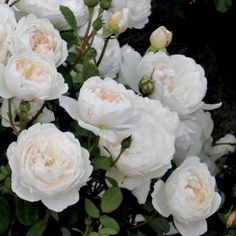 """David Austin's """"Glamis Castle"""" boasts deeply cupped flowers with a strong myrrh fragrance. The name comes from a royal Scottish residence."""