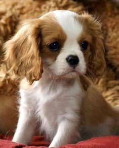Some of the things we all enjoy about the Fun Cavalier King Charles Spaniel Puppies King Charles Puppy, Cavalier King Charles Dog, Cute Puppies, Cute Dogs, Dogs And Puppies, Doggies, Baby Puppies, Cockapoo Puppies, Fluffy Puppies
