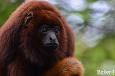 Red Howler Monkey by Toine Baken - Photo 77935747 - 500px