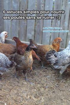 astuces simples pour nourrir les poules sans dépenser trop d'argent économie