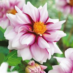 ~Dahlia 'Edge of Joy'
