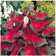 Florida Cardinal Caladium Bulbs