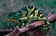Image detail for -Flap-necked Chameleon
