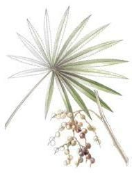 Health Benefits, Side Effects, Modern and Traditional Uses of Saw Palmetto (Serenoa repens) for Prostate Health, Hair Loss and Variety of Other Ailments
