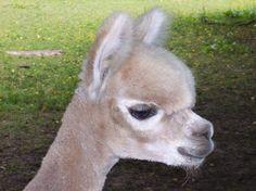 When I win big and buy a farm, I will adopt a llama!