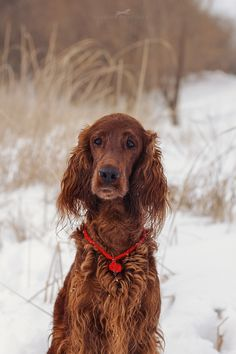 Darsy by Anastasia Silakova Irish Setter Dogs, Puppy Breath, Scottish Deerhound, Best Dogs For Families, Dogs And Puppies, Doggies, Irish Terrier, Super Cute Animals, Irish Wolfhound