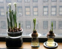 How To: Grow Paperwhites