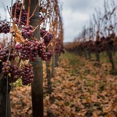 Growing wine, Canon EOS 80D, Sigma 18-35mm f/1.8 DC HSM