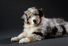 Australian Shepherd puppy♡