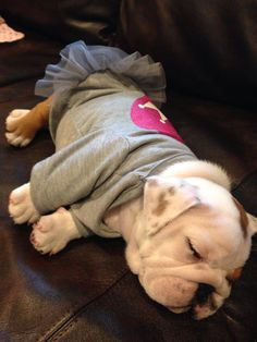 """❤ """"Josephine"""" @ 8 weeks --- just melts your heart into a puddle --- so precious. ❤ Posted on Bulldog Pics"""