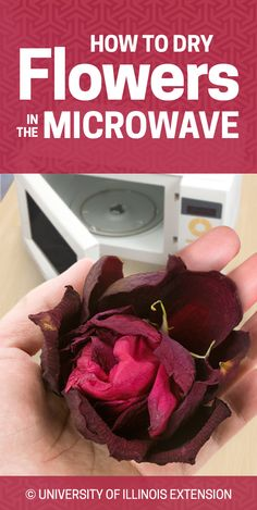 Great for decoration or crafts — how to dry flowers in the microwave!